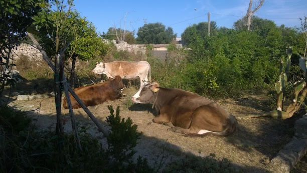 Le mucche di Masseria Miele