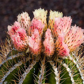 Cactus Flower by Dave Lipchen - Flowers Single Flower ( cactus flower )