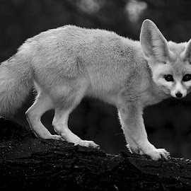 What ? by Gérard CHATENET - Black & White Animals