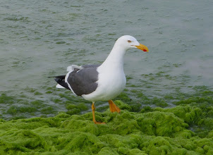 Photo: Yellow-footed gull.