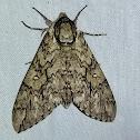 Waved Sphinx Moth