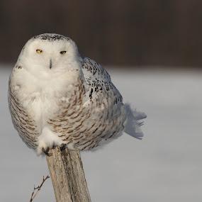 Snowy Owl by Pierre Larouche - Animals Birds