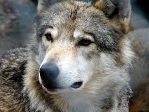 Photo: le loup