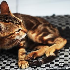 El Tigre by Gilang Ariefian Gutama - Animals - Cats Kittens ( cat, tigre )