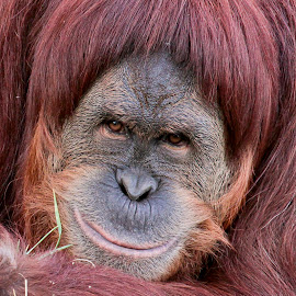 Sumatran Orangutan by Scott Stolsenberg - Animals Other Mammals ( curious, mammal, orangutan, nature, sumatran, intelligent )