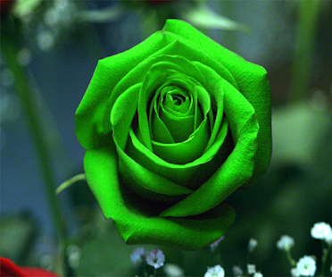 Green Rose Live Wallpaper