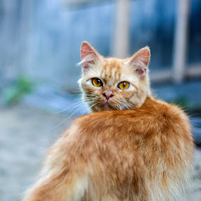 Yellow Cat by Achmad Sutanto - Animals - Cats Portraits ( #fauna, #animal, #funny, #indonesia, #cat )