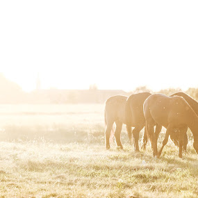 Golden Hour at the Ranch by Trey Amick - Animals Horses ( horseback, horses, sunset, graze, horse, fujifilm, xt-2, fuji, silhoutte, goldenhour )