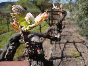 Photo: Kenwood Vineyards - bud break