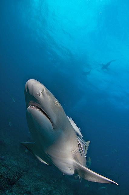 Photo: Lemon Shark