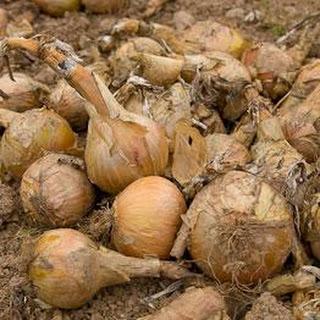 Raw Onion Recipes.