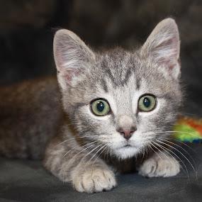 Rudy  by Sharon Scholtes - Animals - Cats Kittens ( cat, kitten, stare, grey, feline, stripe )