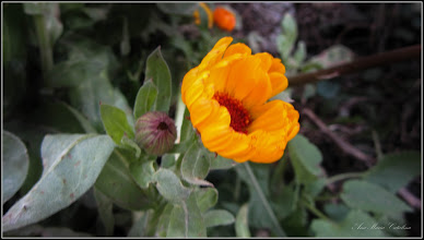 Photo: Galbenele (Calendula officinalis) - de pe Str. Nicolae Vladutiu - 2017.12.11