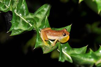 Photo: Afrixalus frog
