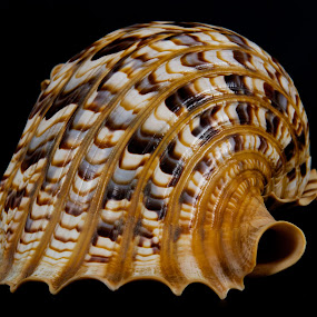 Sea Shell by Darius Apanavicius - Artistic Objects Other Objects ( abstract, shell, sea shell, pattern, close up )