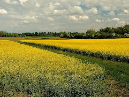 Campi gialli di colza di renzo brazzolotto
