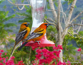 Photo: Streak-backed Orioles, Rancho Primavera, near Tuito, Jalisco