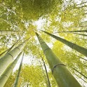 Bamboo live Wallpapers icon