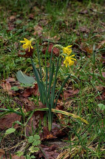 Narcissus minor asturiensis