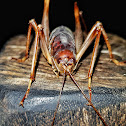 Giant cave cricket