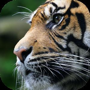 King Tiger 3D Locker Theme