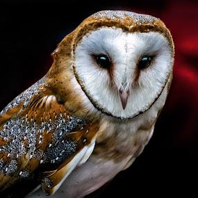 Barn owl by Peter Greenhalgh - Animals Birds ( bird, black background, barn owl, beak, bright eyes, close-up, tyto alba )