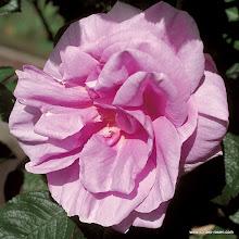 Photo: Historische Rose Delicia®, Züchter: W. Kordes' Söhne 2002