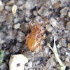 Beetle Mite