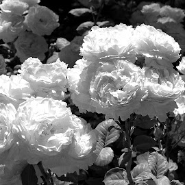 Flowers in B&W by Joatan Berbel - Black & White Flowers & Plants ( flower photography, spain, flowers, granada, andalucia, nature up close, black and white, nature photography )