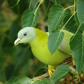 green pigeon  by Chhaditya Parikh - Animals Birds