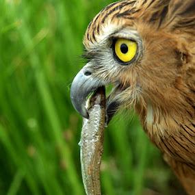 by Ar Yudha Pahrolrozy - Animals Birds ( owl )