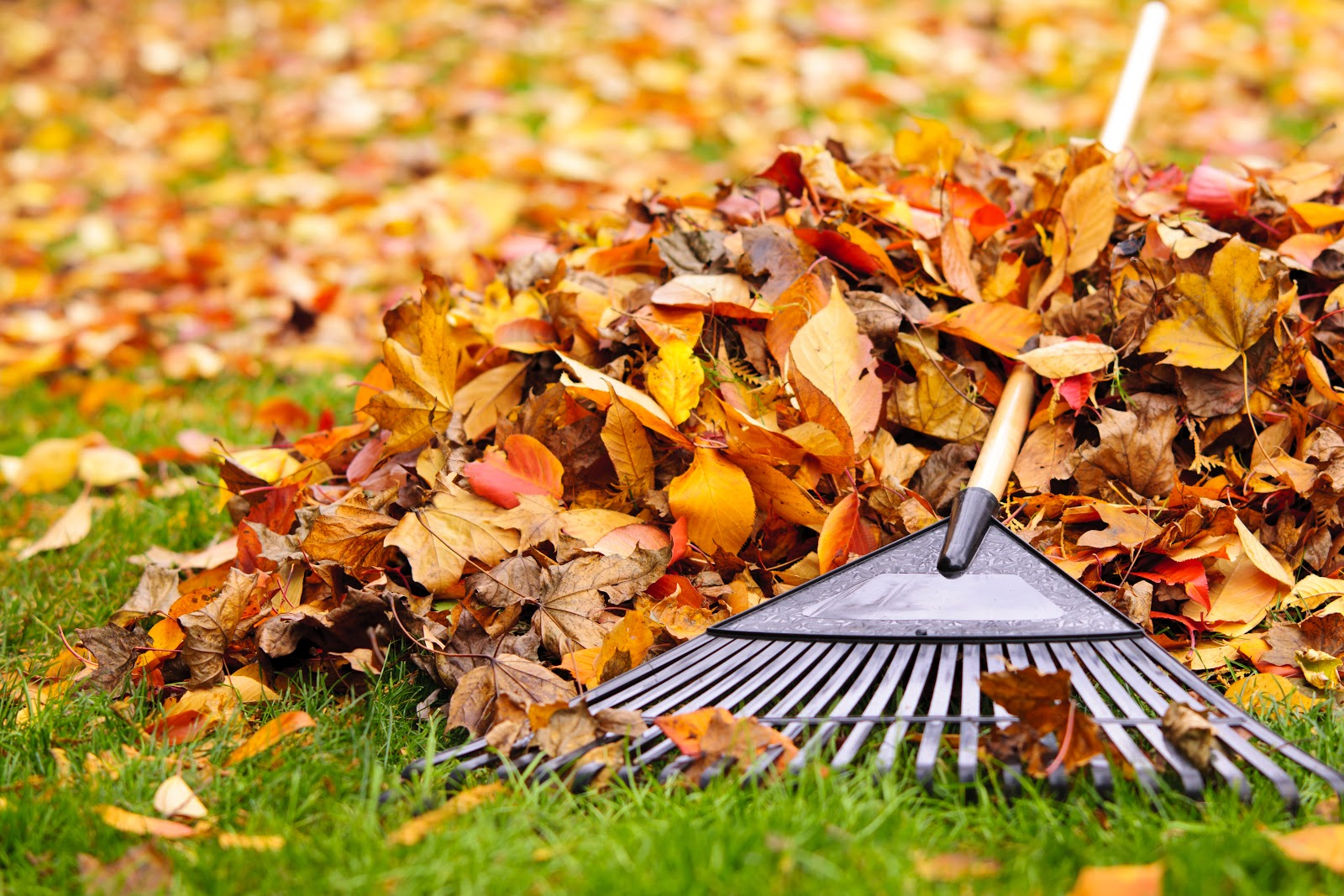 Pile of leaves with rake upon green lawn