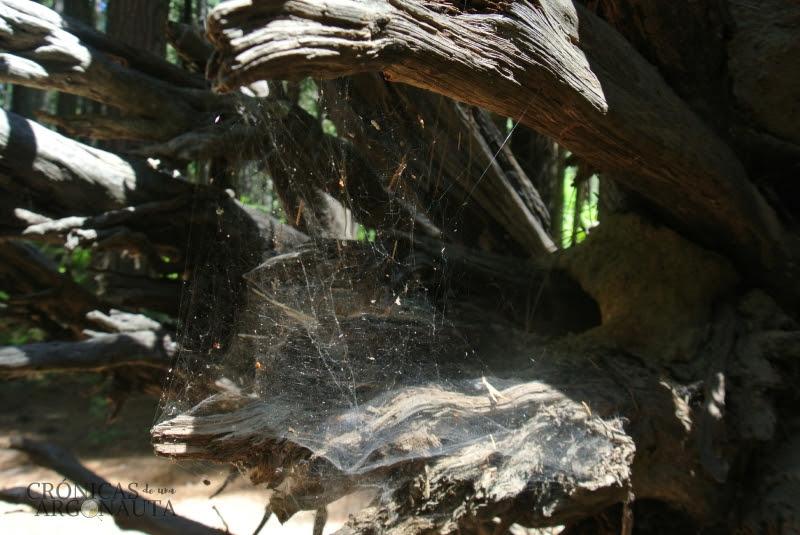 telaraña en las secuoyas de Yosemite