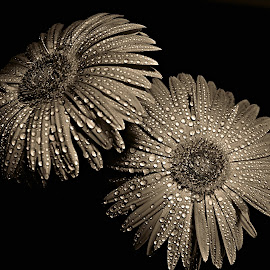 Gerbera Flower by Pieter J de Villiers - Black & White Flowers & Plants