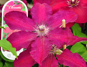 Photo: Clematis Westerplatte