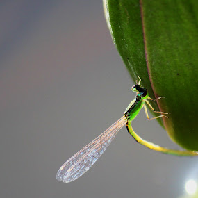 Green Dragon fly..!! by Nirmal Kumar - Animals Insects & Spiders