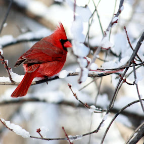 Cardinal after the snow storm by Nancy Daugherty - Animals Birds ( cardinal, nature, wildlife, backyard, birds )