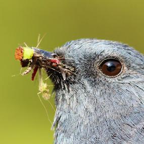 Plumbeous redstart by Nelson Thekkel - Animals Birds ( color, bird,  )