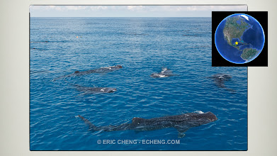 Photo: Go to where whale sharks are. Example: Isla Mujeres, Mexico. July -> August