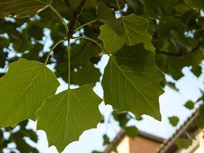 Photo: Envés de las hojas de álamo blanco