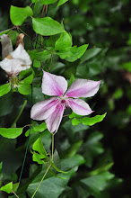 Photo: Clematis 'Pink Phantasy' closeup