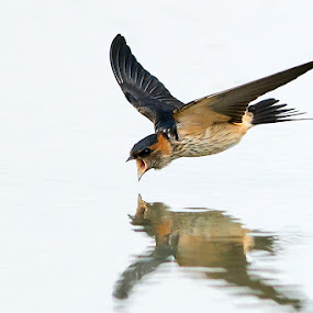 Red-rumped Swallow by Ken Cheung - Animals Birds ( bird, fly, speed, catch, swallow )