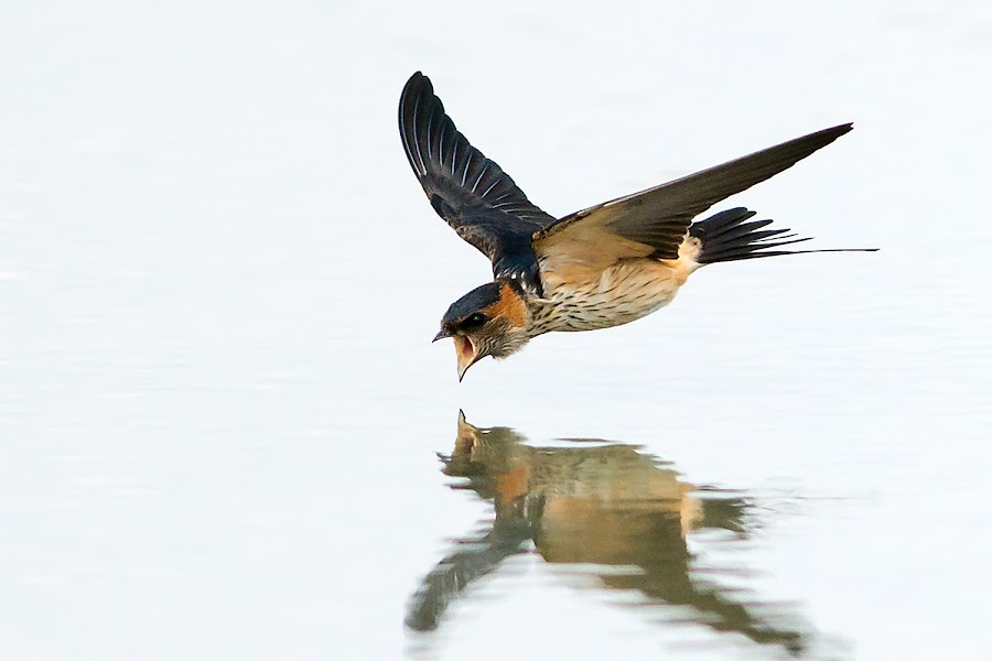 Red-rumped Swallow by Ken Cheung - Animals Birds ( bird, fly, speed, catch, swallow )