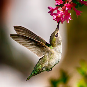Anna's Hummingbird by Sheldon Bilsker - Animals Birds ( bird, hummingbird )