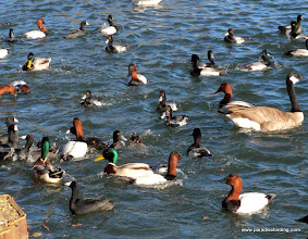 Photo: A mess of hungry ducks at Lake Merritt, Oakland.