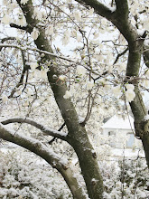 Photo: White magnolias hiding a snowy gazebo at Cox Arboretum in Dayton, Ohio.