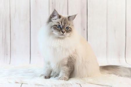 BLOG : hoe een langharige kat kammen