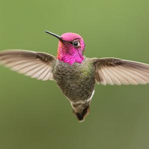 Male Anna's Hummingbird-5167_20160312.jpg