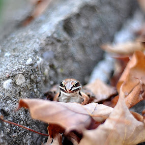 by Colene Draper Anderson - Animals Amphibians ( frog, fall, wildlife, leaves )