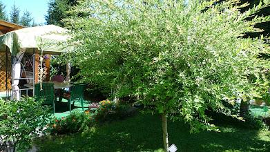Photo: meine Salix-Weide hab ich schon 2 mal geschnitten und schon wieder hat sie meterlange Triebe